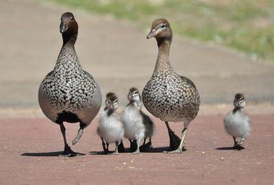 Duck:
