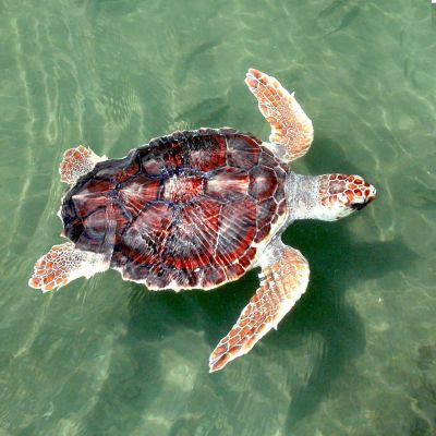 Turtle: Turtle :nerd: